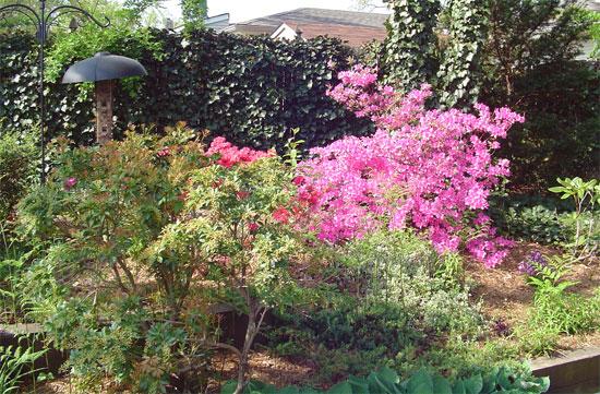 back-azaleas-may-12-2007.jpg