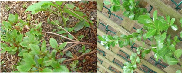 azalea-and-boxwood.jpg
