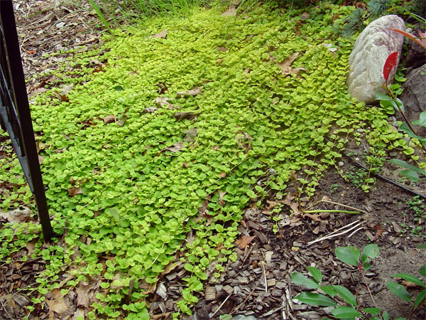 Creeping Jenny Lawn Creeping Jenny comes in this