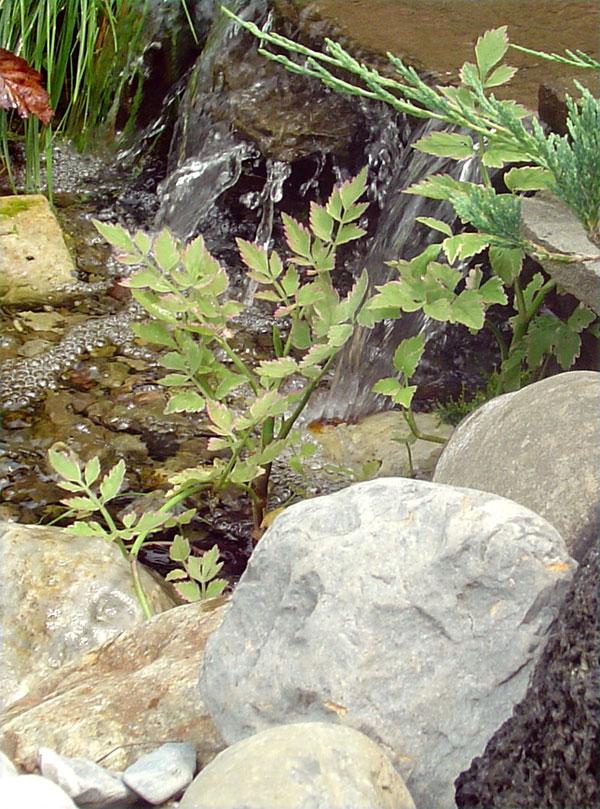 water-lettuce.jpg